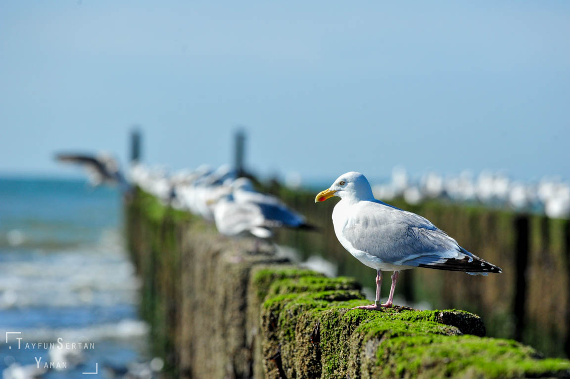 Seagulls waiting for low tide | sertanyaman.com photography
