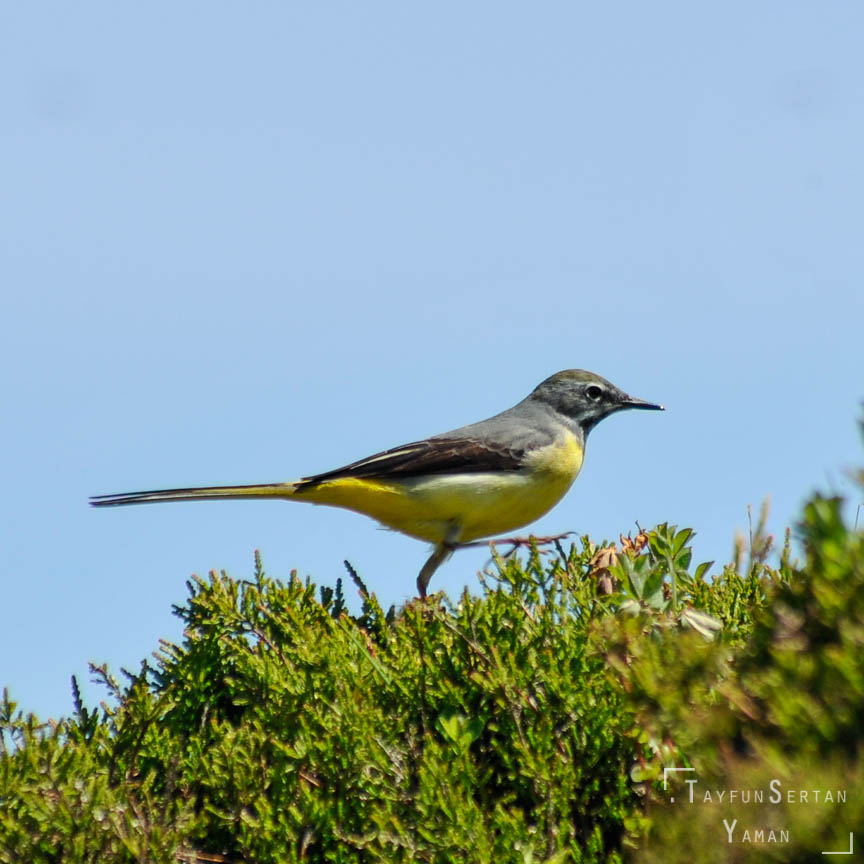 Azores grey-yellow wagtail | sertanyaman.com photography