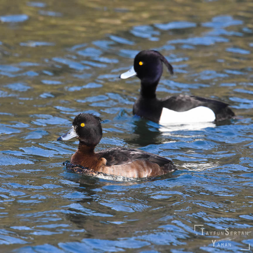 Bufflehead (tufted) ducks  | sertanyaman.com photography