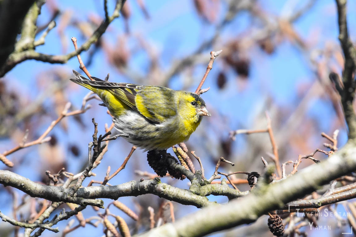 Canary eating on the oak tree | sertanyaman.com photography