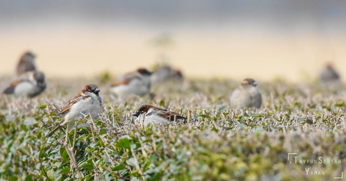 Sparrows schooling | sertanyaman.com photography