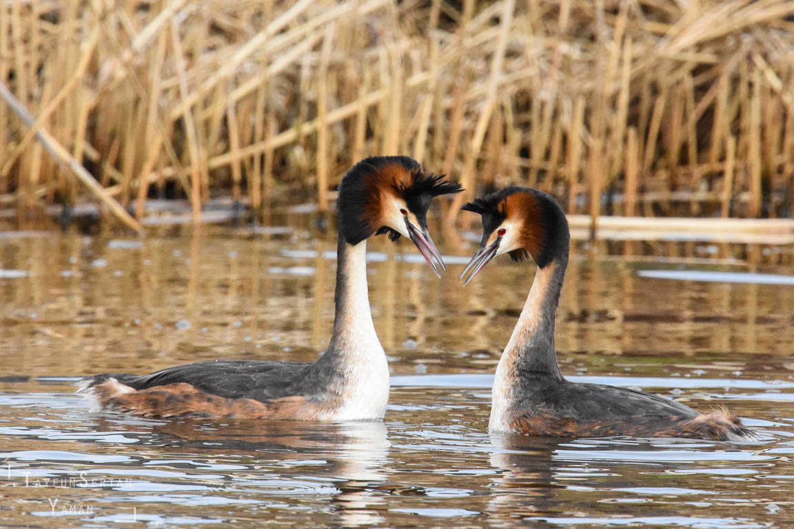 Grebes in courtship dance | sertanyaman.com photography
