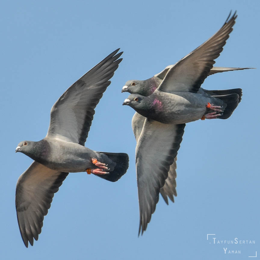 Flying domestic pigeons | sertanyaman.com photography