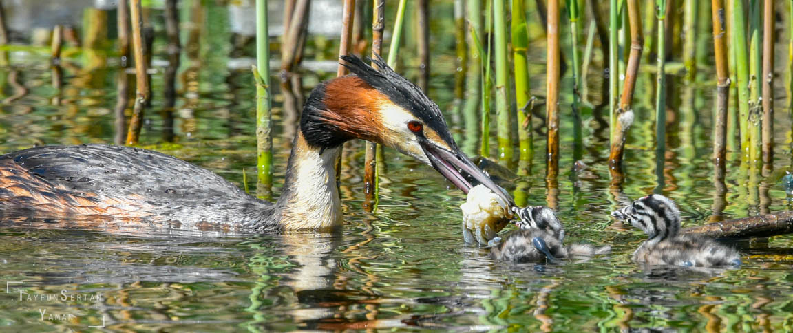 Grebe feeding babies | sertanyaman.com photography