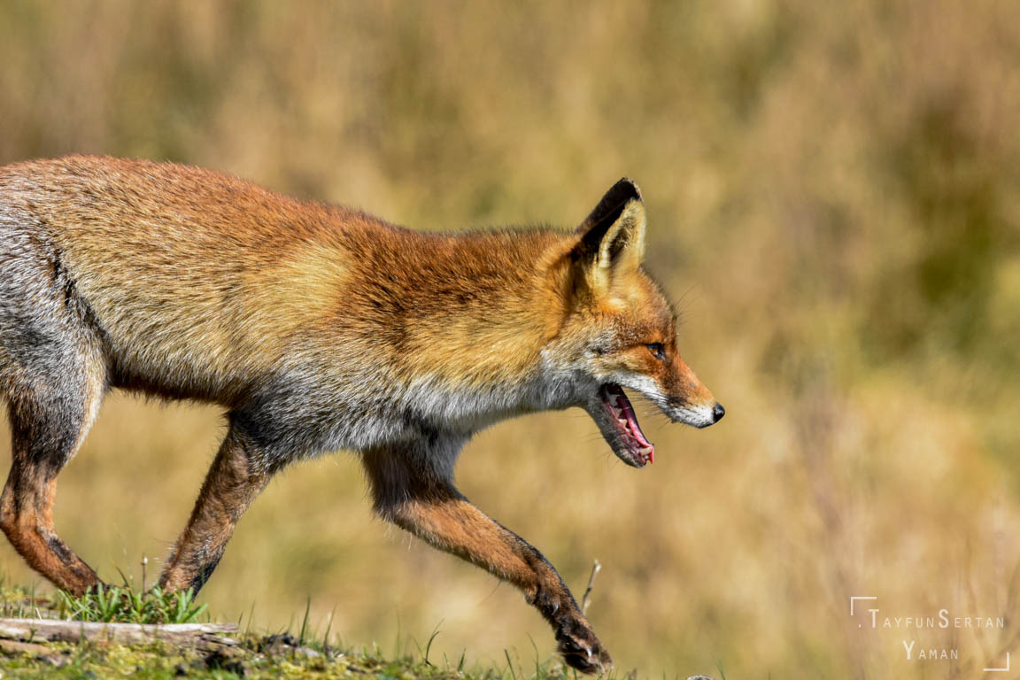 Red fox on hunt | sertanyaman.com photography