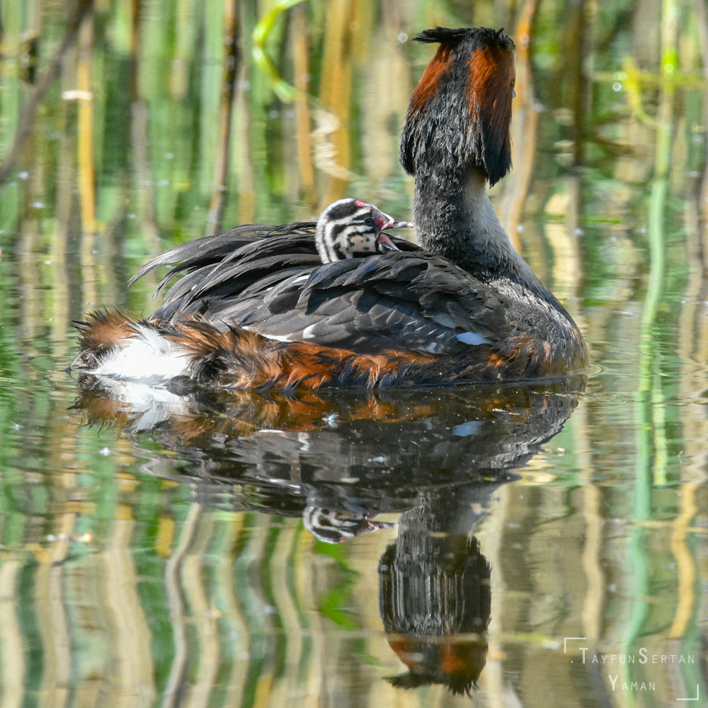 Spring grebe with babies | sertanyaman.com photography