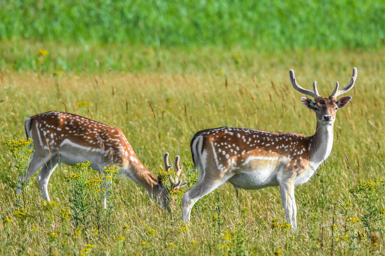 Male deers in spring colors | sertanyaman.com photography