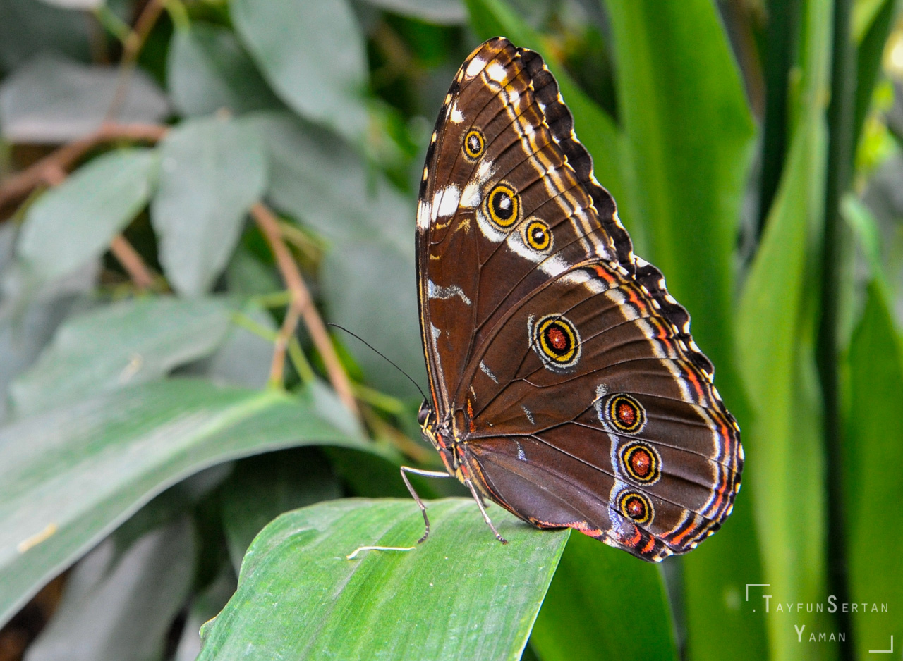 Wild trophical butterfly | sertanyaman.com photography