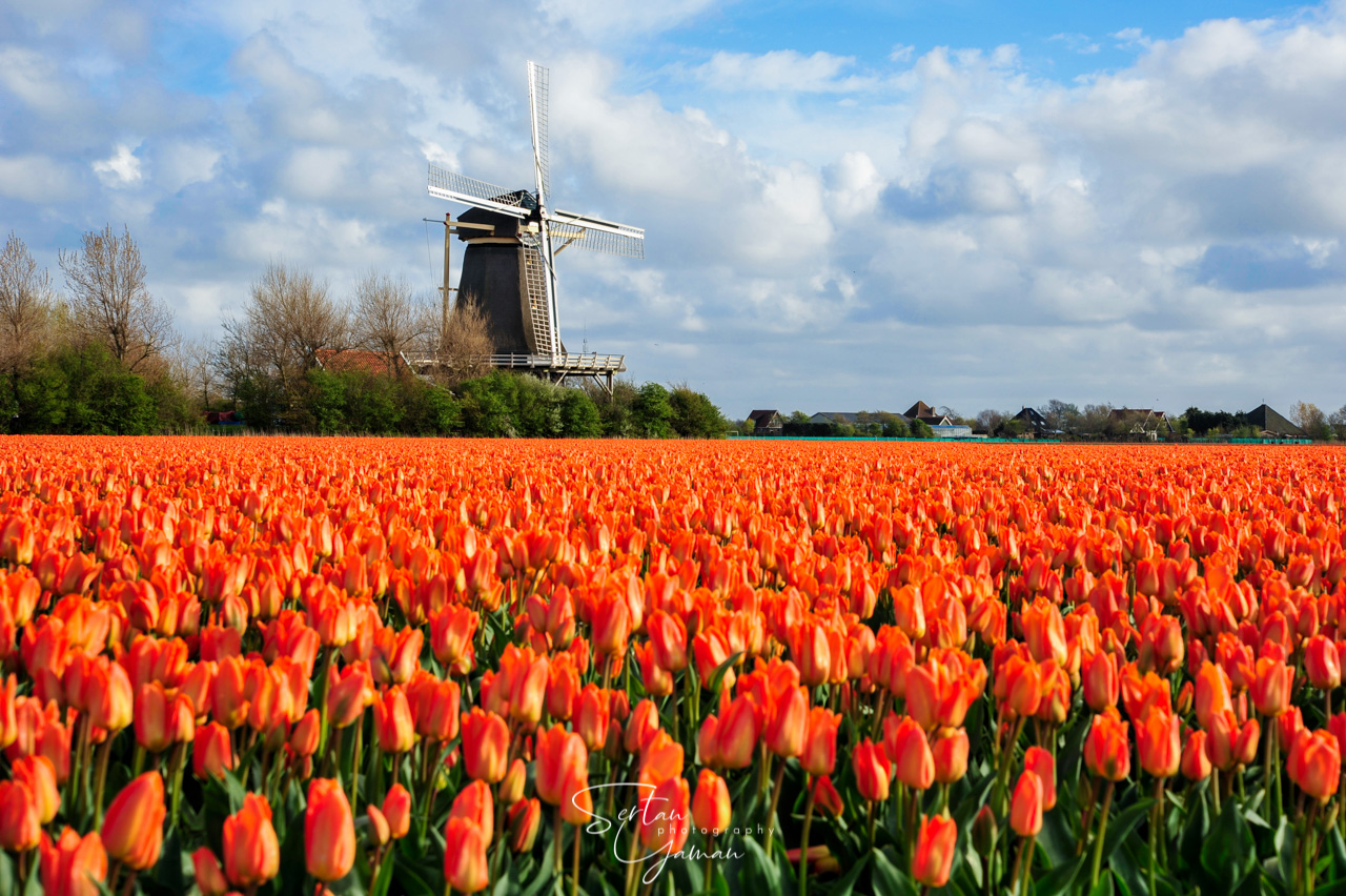 Tulip fields in The Netherlands | sertanyaman.com photography