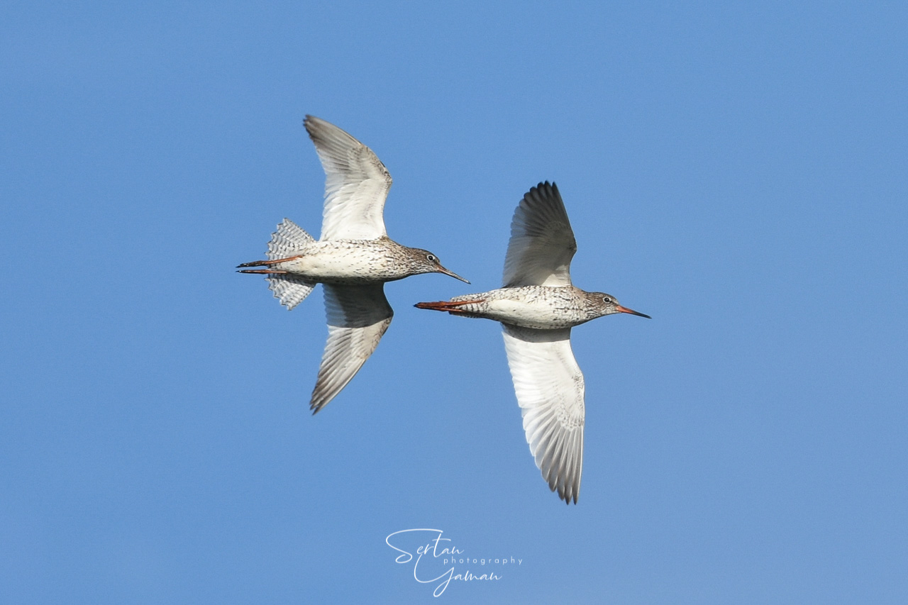 Red Knots on flight | sertanyaman.com photography