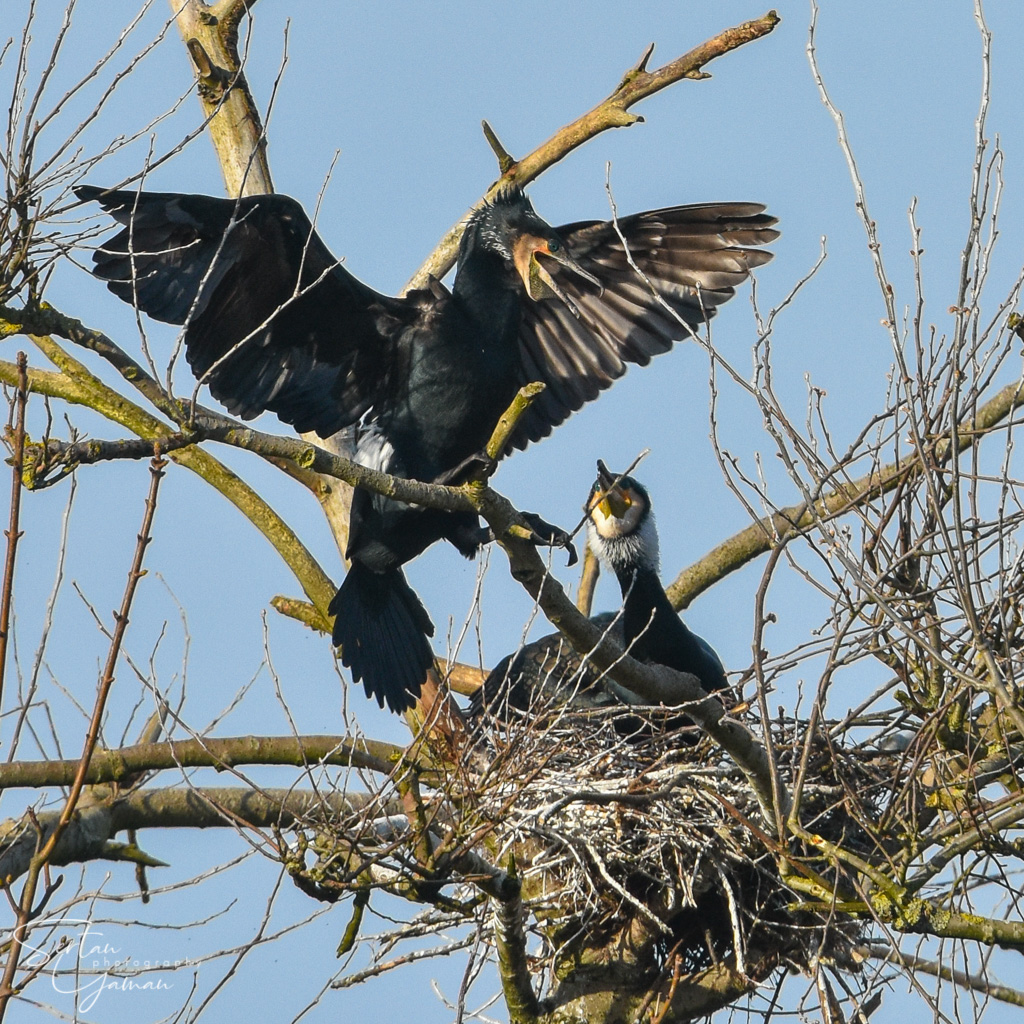 Cormorants in mating season | sertanyaman.com photography